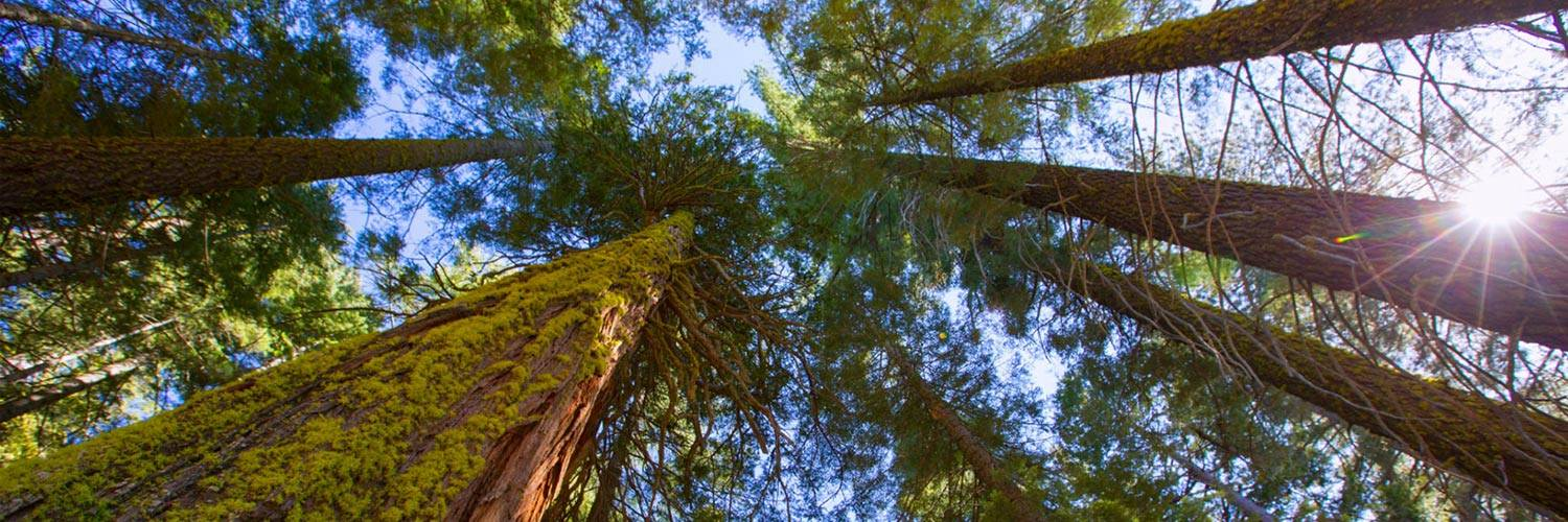 Redwood and Sequoias Banner