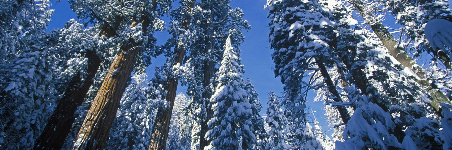 Winter tree tops in Sequoia National Park