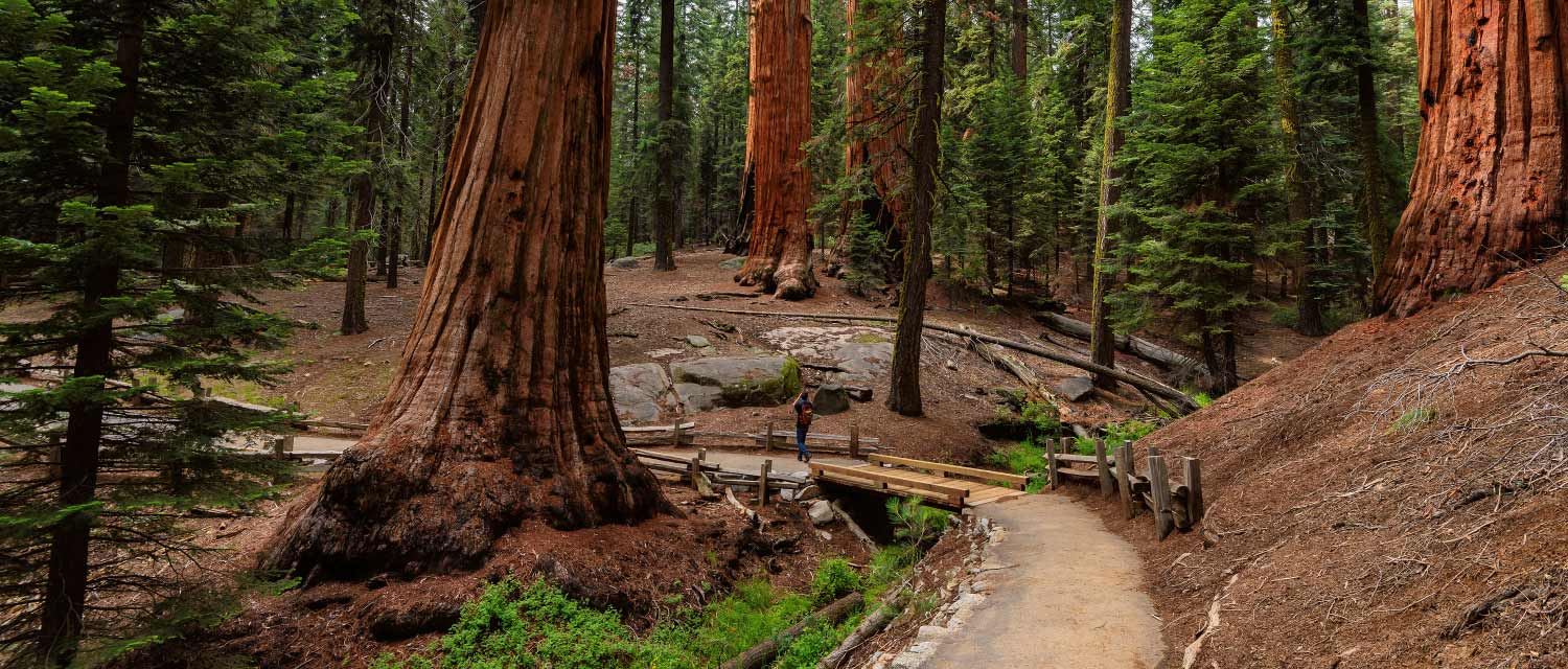 A park visitor gazes at giant sequoia trees in Sequoia National Park