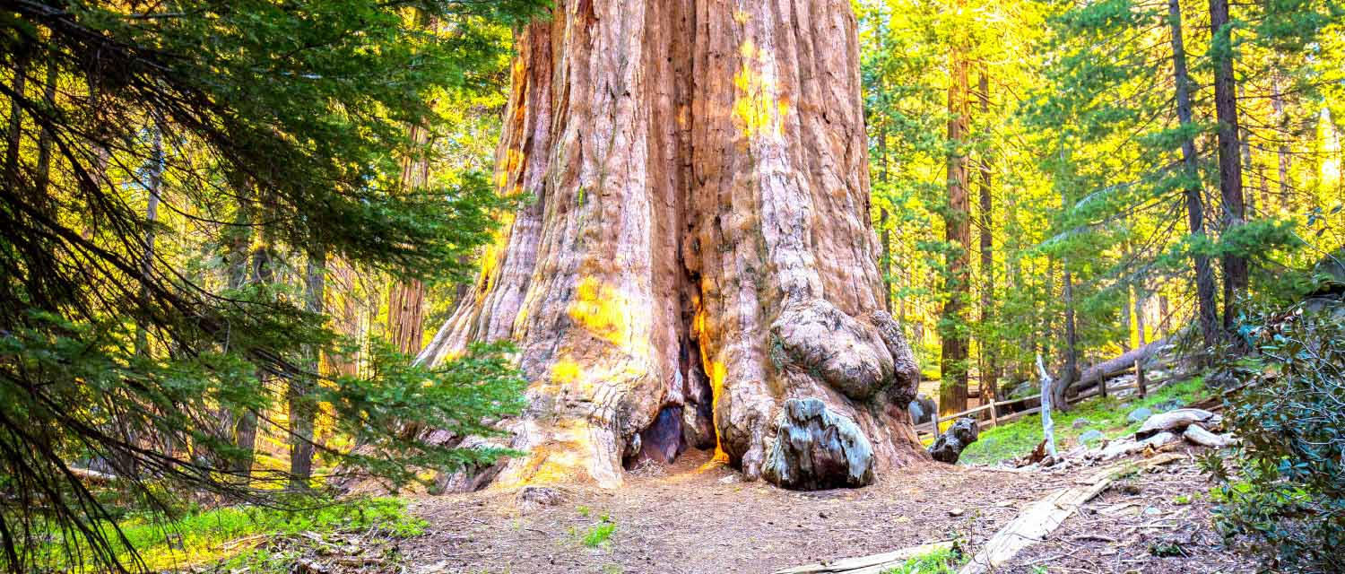 The General Grant Tree is located in Grant Grove in Kings Canyon National Park