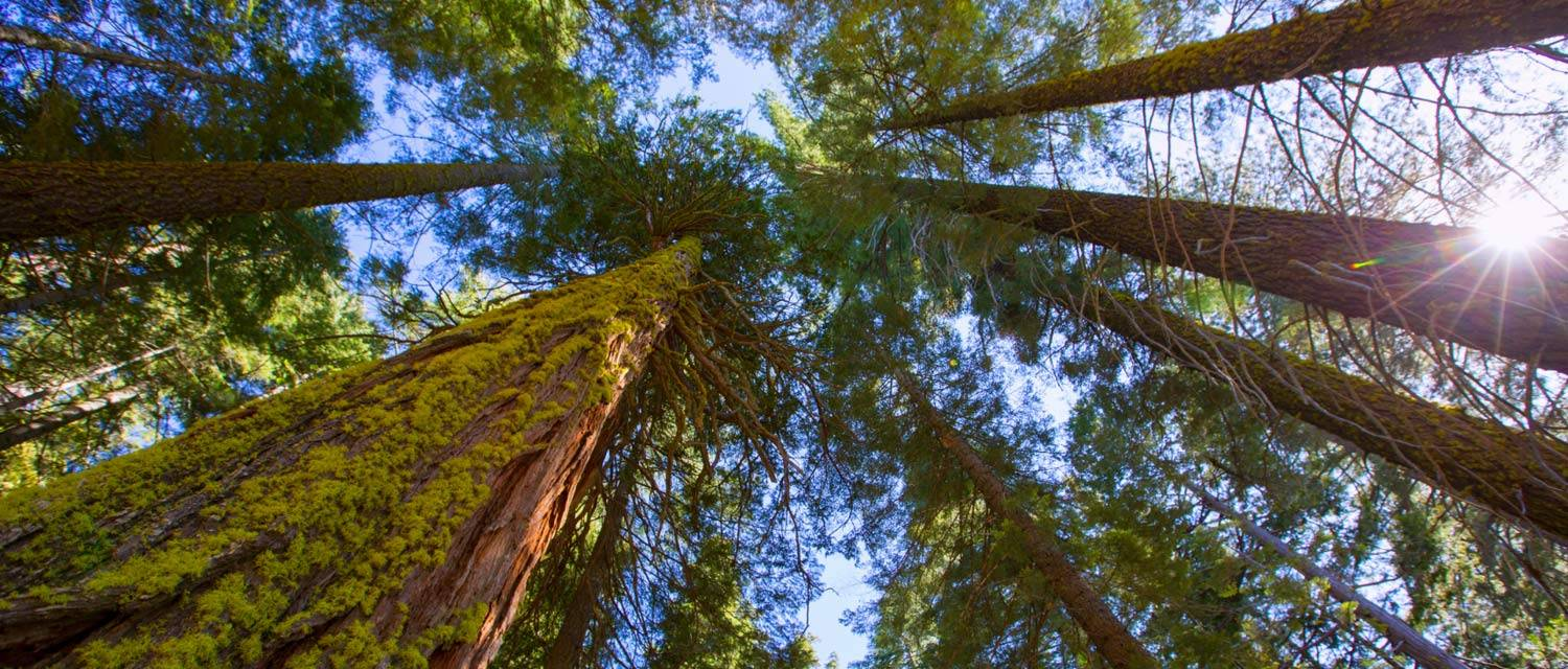 Gazing up at giant sequoias
