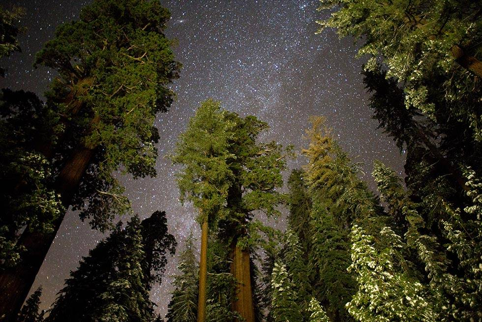 Sequoia Trees Night