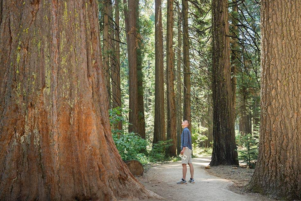 Sequoia Trees Man