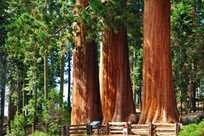 Sequoia Tree Group
